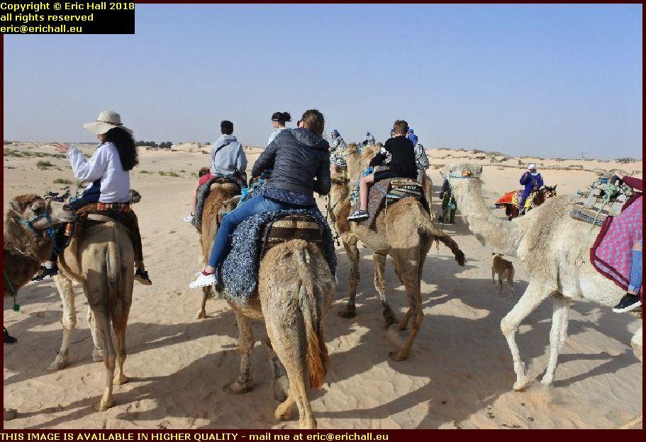 camels oasis of douz grand erg tunisia africa