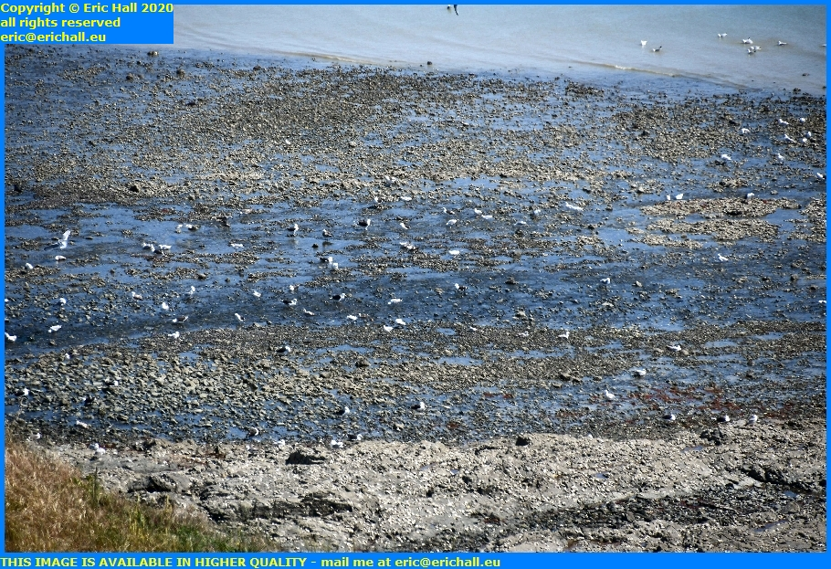 seagulls scavengig in rock pools pointe du roc granville manche normandy france eric hall