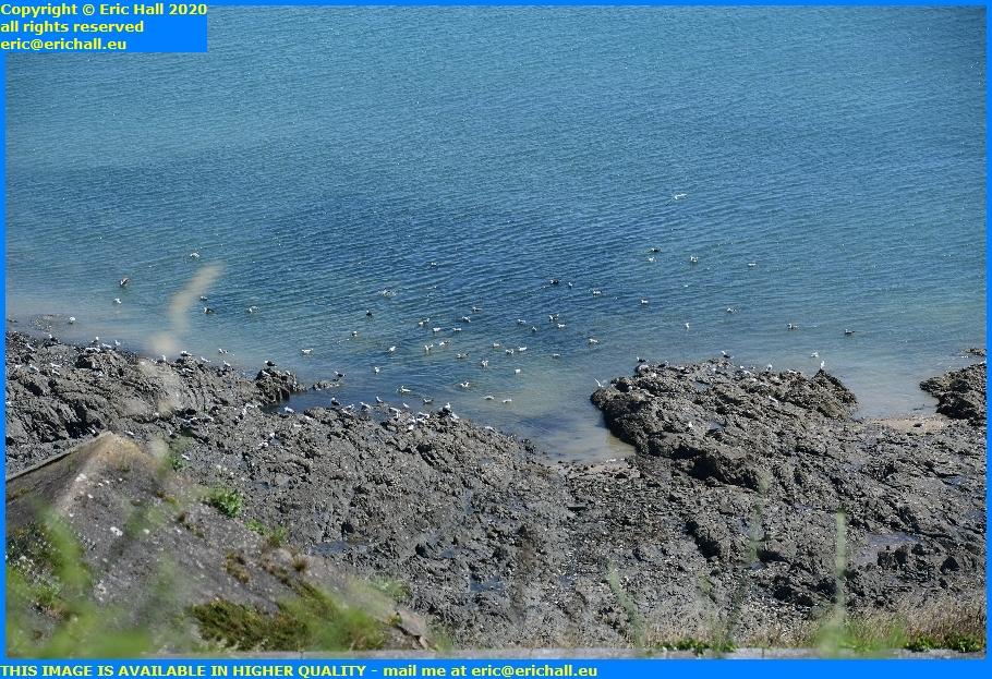 seagulls pointe du roc granville manche normandy france eric hall
