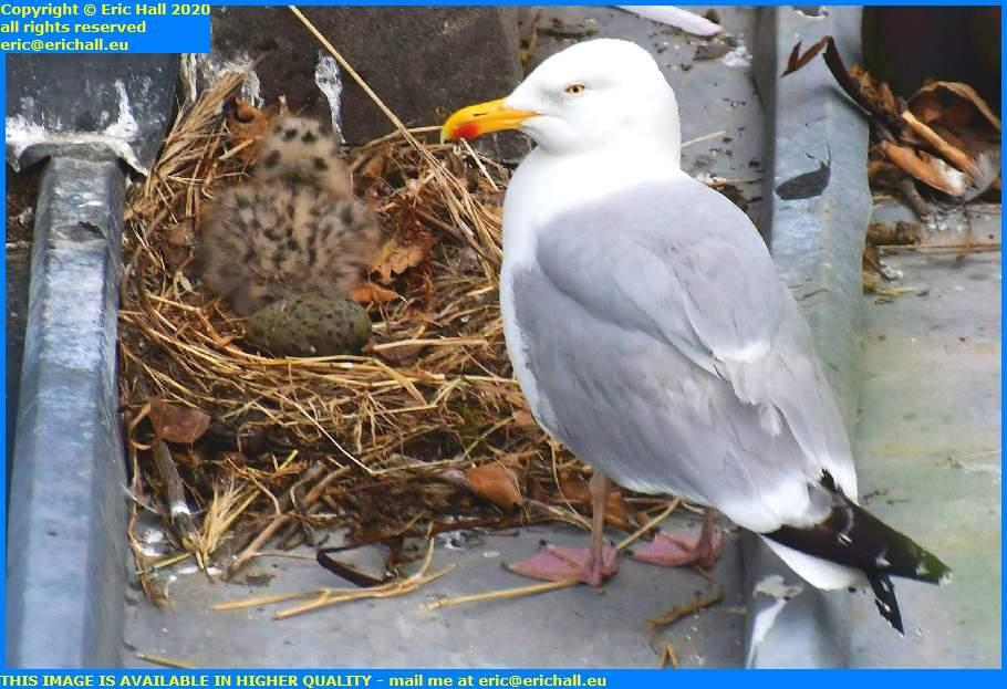 mother seagull chicks rue des juifs granville manche normandy france eric hall