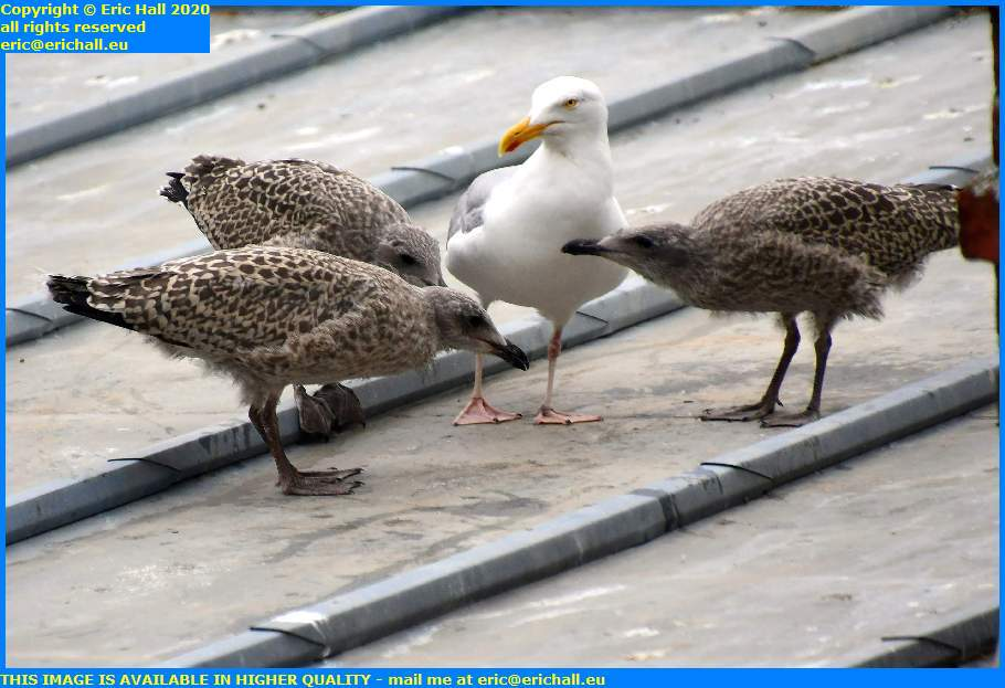 baby seagull rue des juifs granville manche normandy france eric hall