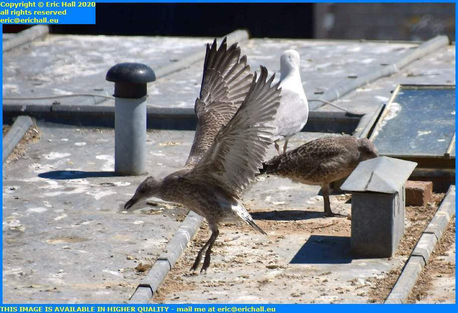 baby seagull learning to fly rue des juifs granville manche normandy france eric hall