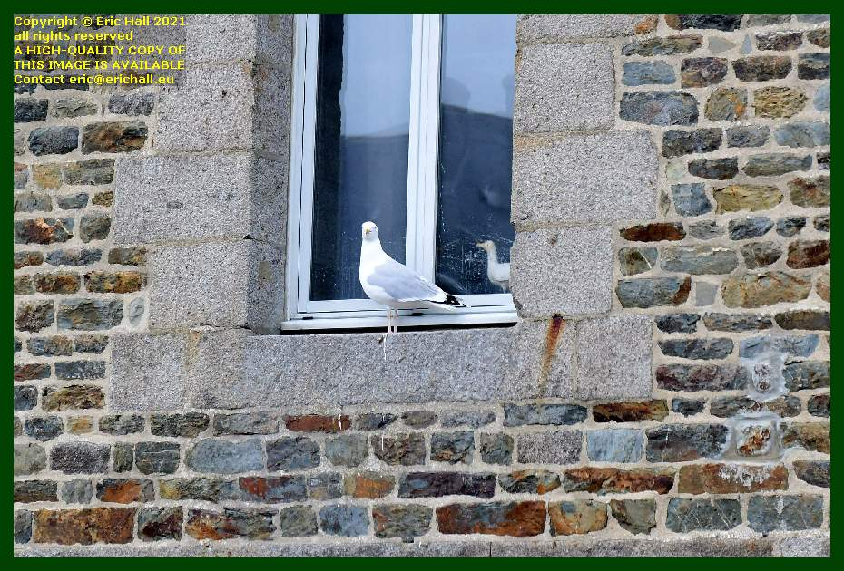 seagull on window ledge place d'armes Granville Manche Normandy France Eric Hall