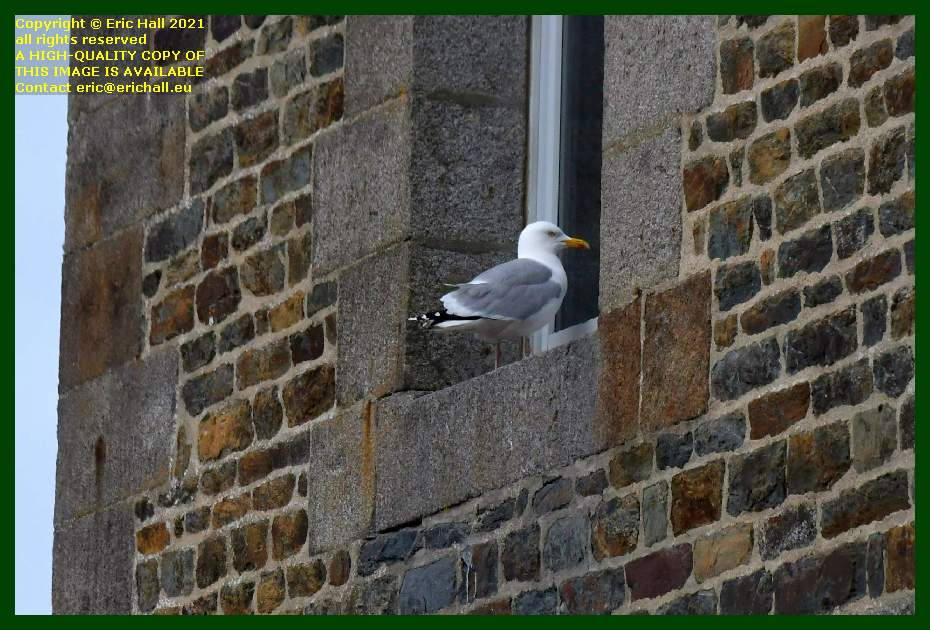 seagull window ledge place d'armes Granville Manche Normandy France Eric Hall