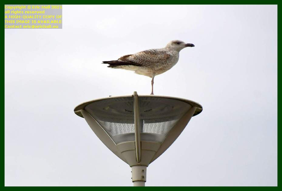 seagull street light place d'armes Granville Manche Normandy France Eric Hall