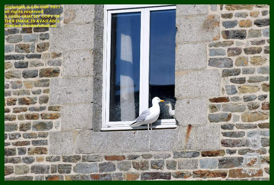 seagull place d'armes Granville Manche Normandy France Eric Hall