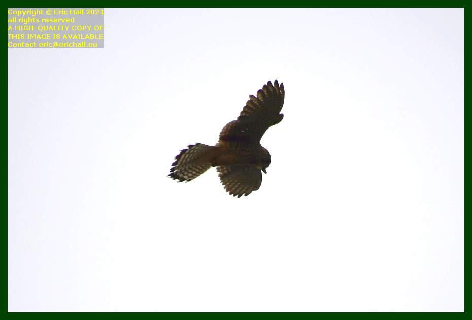 bird of prey pointe du roc Granville Manche Normandy France Eric Hall