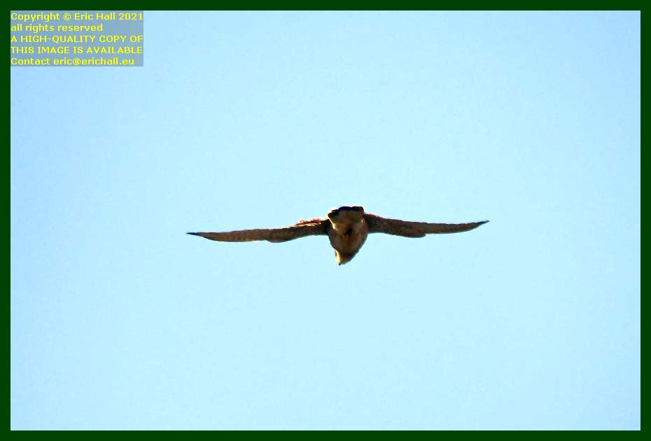 bird of prey place d'armes Granville Manche Normandy France Eric Hall