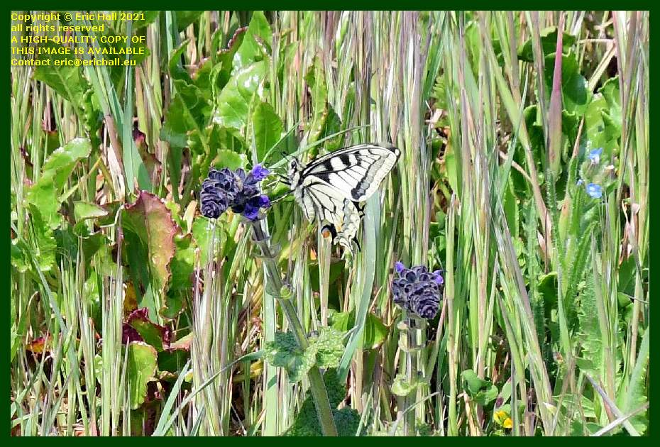 1st butterfly pointe du roc Granville Manche Normandy France Eric Hall