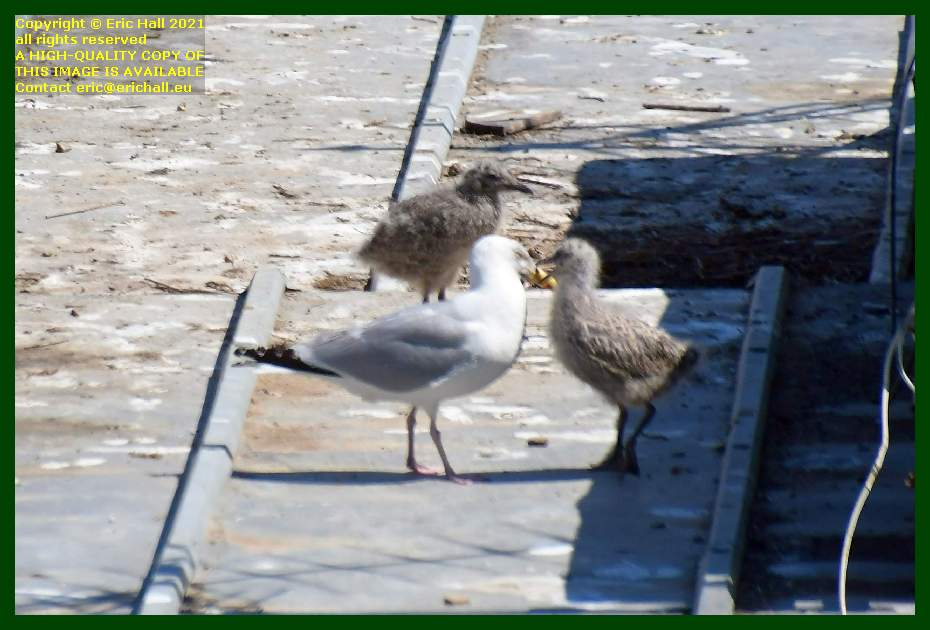 seagull with chicks rue des juifs Granville Manche Normandy France Eric Hall