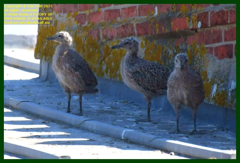 seagull chicks rue des juifs Granville Manche Normandy France Eric Hall