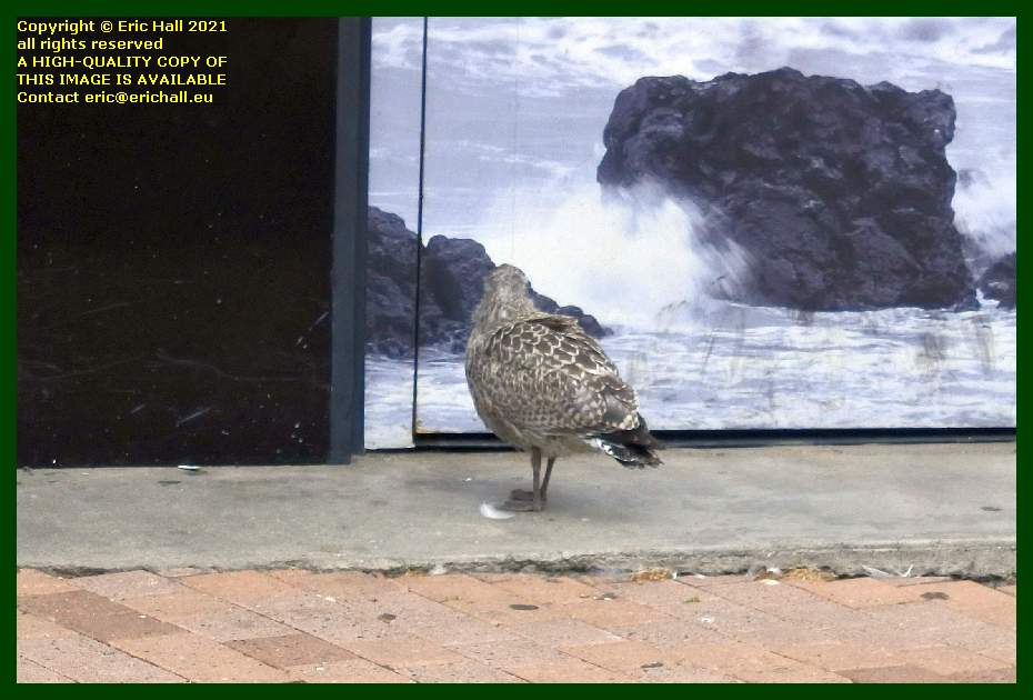 seagull chick lost in rue paul poirier Granville Manche Normandy France Eric Hall
