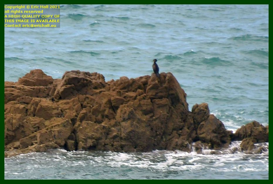 great cormorant baie de Granville Manche Normandy France Eric Hall