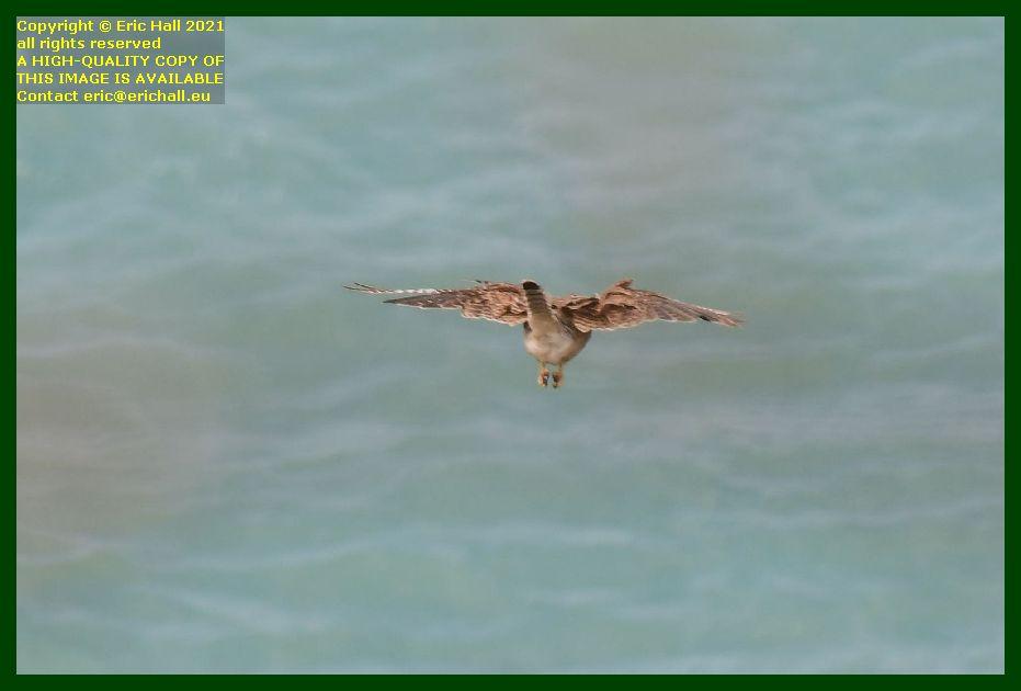 sparrowhawk bird of prey pointe du roc Granville Manche Normandy France Eric Hall