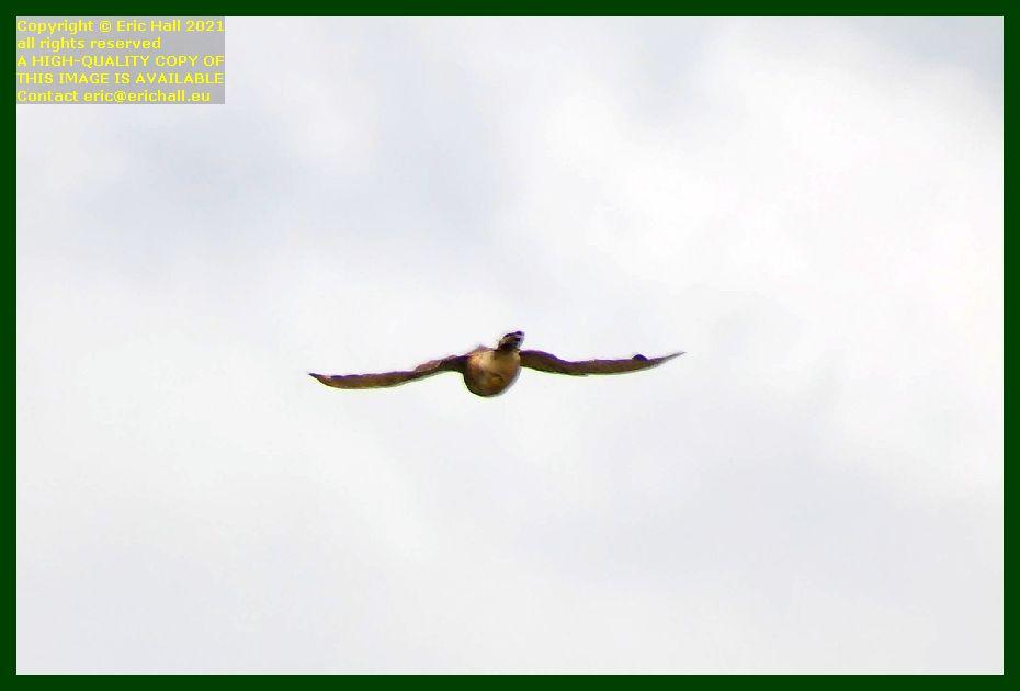 sparrowhawk pointe du roc Granville Manche Normandy France Eric Hall