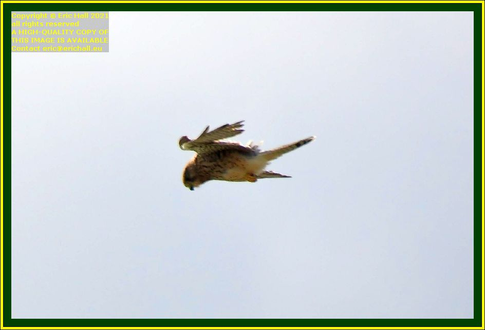 sparrowhawk pointe du roc Granville Manche Normandy France Eric Hall photo September 2021